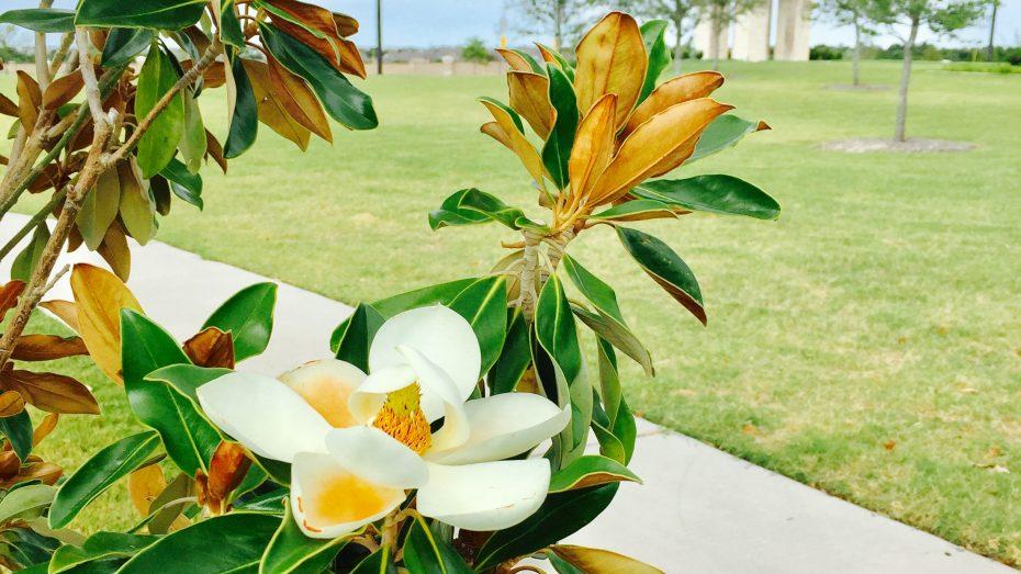 Miramonte-Frisco-flowers-2