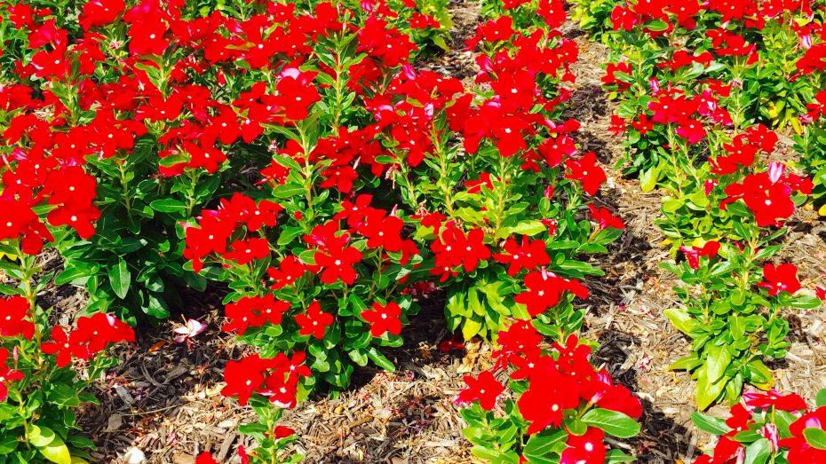 Miramonte-Frisco-flowers