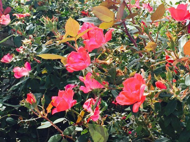 Trinity_Falls_flowers